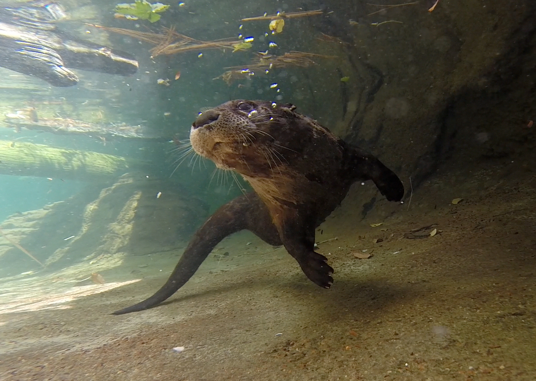 river otter under water