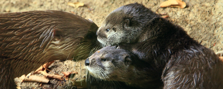 River otter pups born at Alexandria Zoo