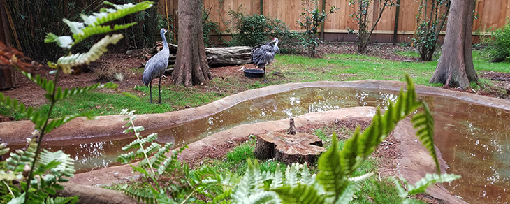 Florida sandhill cranes back at Alexandria Zoo