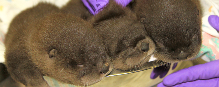 River otter pups