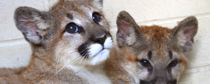 Name the Cougar Cubs